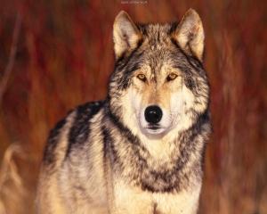 wolf_12_big